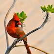 Beach Cardinal