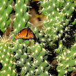 Butterfly in the Briar Patch