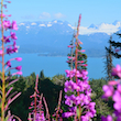 Fireweed Over Kachemac 2