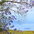 View from the Shade of a Jacaranda