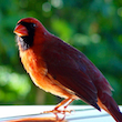 Morning Cardinal