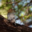 Portrait of a Woodpecker