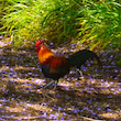 Rooster Over Dappled Jacaranda