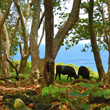 Heavenly Hana Cows