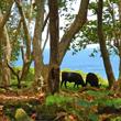 Heavenly Hana Cows